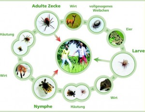 Grafik: www.zecken.de