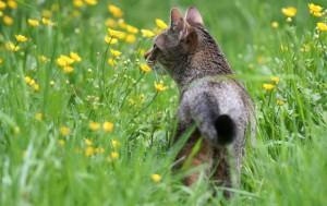 Unkastrierte Katzen legen auf der Suche nach einem passenden Geschlechtspartner oft weite Distanzen zurück. Foto: Christine Trewer