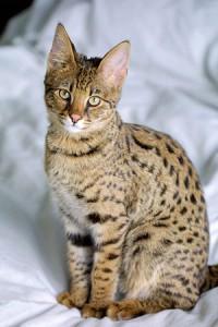 Wer einer Hybridkatze der ersten Generationen ein artgerechtes Leben bieten will, sollte nicht auf die Hauskatzengene vertrauen. Foto: Jason Douglas, über Wikipedia.de