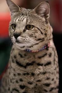 Sind Ashera-Cats eigentlich Savannah-Katzen? Das Foto zeigt Matahah Me Al (Motzie ), eine a 8 Kilogramm F2 Savannah.