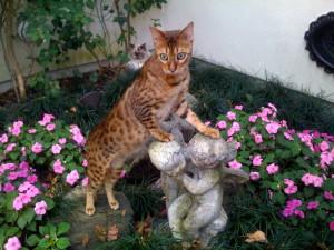 Hybridkatzen der Generation F1 bis F4 fallen unter das Artenschutzabkommen und benötigen ein Freigehege entsprechender Größe. Foto: Bengalkatze, V. Sauvaget, über Wikipedia