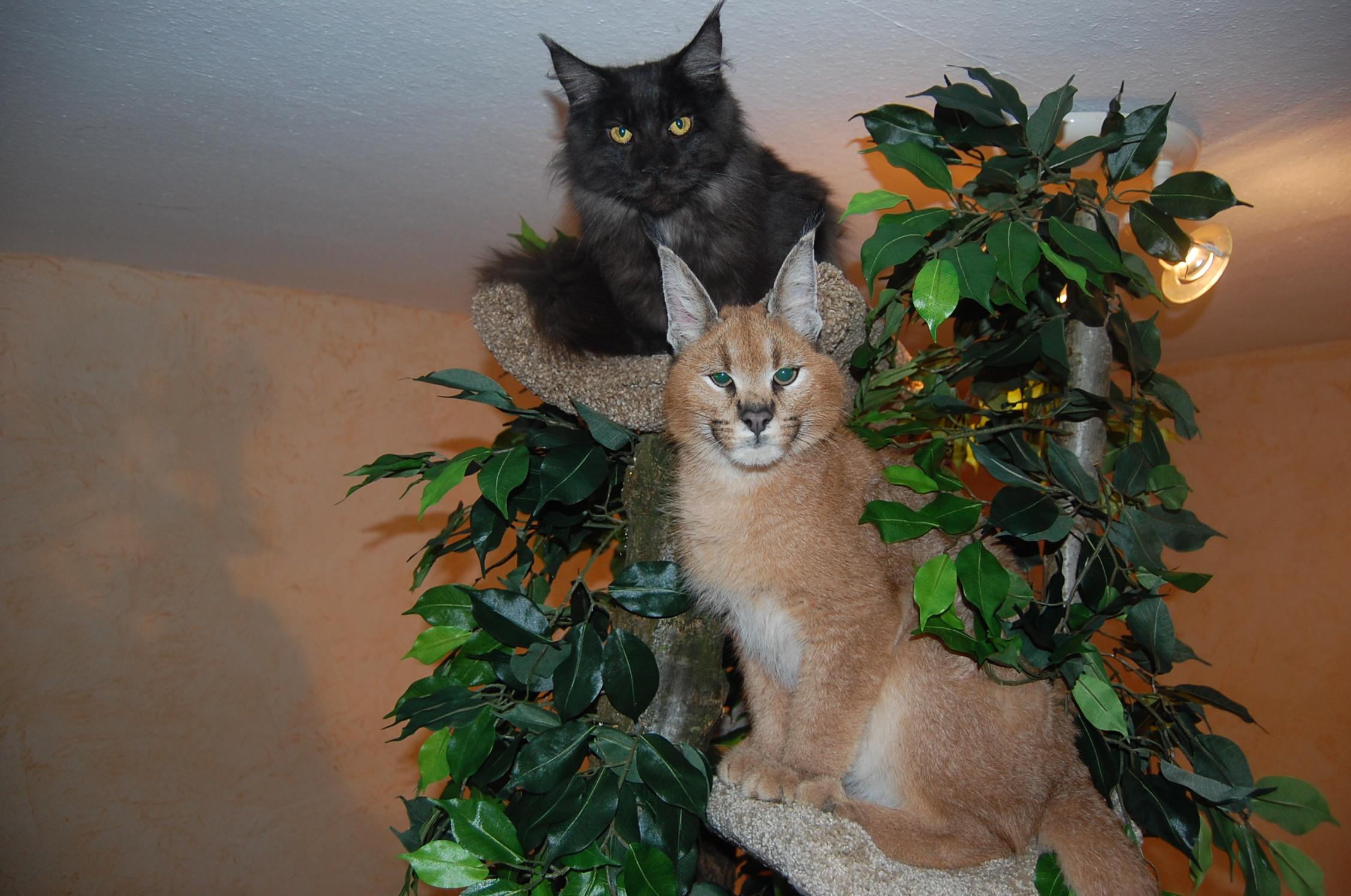 eine wildkatze f r das wohnzimmer interview zur caracat zucht. Black Bedroom Furniture Sets. Home Design Ideas