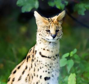 Der Serval, eine mittelgroße Raubkatze Afrikas und Stammvater der Savannah. Foto: Steve Wilson, ursprünglich über Flickr