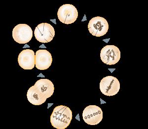 Schematische Zeichnung der Mitose. Quelle: Wikipedia.de